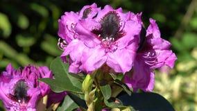 Hybrid- känguru för rhododendron, rhododendronbland arkivfilmer