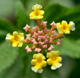 Hybrid Lantana. It is a type of Lantana camara, also known as Spanish Flag or West Indian Lantana or LAVA, is a species of flowering plant in the verbena family Stock Images