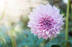Hybrid Light Pink Dahlia flower Stock Images