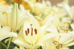 Hybrid lily. Lilium hybridum Hybrid lily (Lily royalty free stock photos
