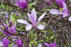Hybrid- magnolia Ann för flicka Royaltyfri Foto