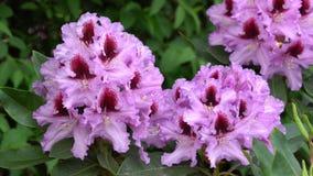 Hybrid- midnatt skönhet för rhododendron, rhododendronhybride stock video