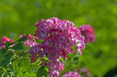 Hybrid musk roses Royalty Free Stock Photography