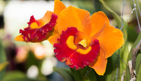Hybrid orange and red cattleya orchid flower Stock Photography