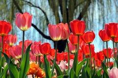 Hybrid orange tulip Royalty Free Stock Images