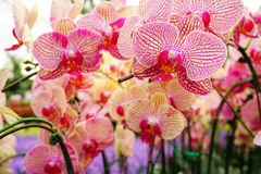 Hybrid Orchid flower bloom with soft focus Royalty Free Stock Image