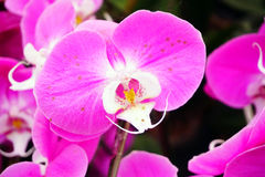 Hybrid Orchid flower bloom with soft focus Royalty Free Stock Photography