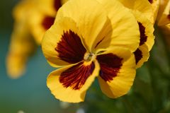 Hybrid Pansy flower close up Royalty Free Stock Image