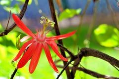 Hybrid- Passiflora som kallas 'mamma', Royaltyfria Foton
