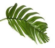 Hybrid- Philodendronblad som isoleras på vit bakgrund arkivfoton