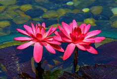 Hybrid pink water lilies royalty free stock photography