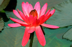 Hybrid pink water lily Royalty Free Stock Photo