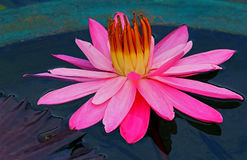 Hybrid pink water lily stock images