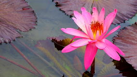 Hybrid pink water lily and pads stock footage