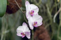 Hybrid pink and white phalaenopsis, hybrid orchid close up in soft focus royalty free stock images