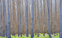 Hybrid Poplar Forest. Thousands of hybrid Poplar trees - Populus Alba - growing in a commercial forest, with green grass on the ground Stock Images