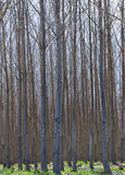 Hybrid Poplar Grove in Oregon Stock Photos