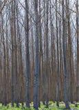 Hybrid Poplar Grove in Oregon. VerticaL image of a hybrid Poplar commercial grove of trees in Eastern Oregon Stock Photos
