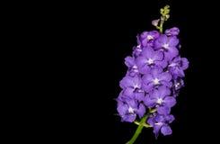 Hybrid purple Vanda orchid isolated on black Stock Photo