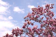 Hybrid red magnolia tree Royalty Free Stock Image