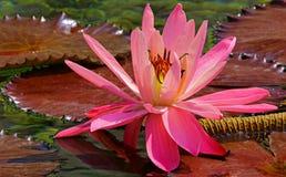 Hybrid- rosa näckrosslut upp arkivfoton