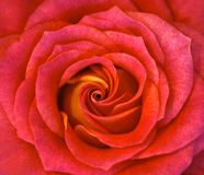 Hybrid Rose Stock Images