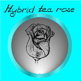 Hybrid rose handrawn on grey background stock photos