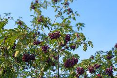 Rowan hybrid granate on blue sky background. Hybrid of Rowan and hawthorn is a decorative and fruit tree stock photos
