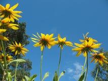 Hybrid Rudbeckia (Rudbeckia x hybrida) Royalty Free Stock Images