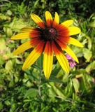 Hybrid rudbeckia (Rudbeckia x hybrida) Royalty Free Stock Photo