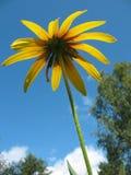 Hybrid Rudbeckia (Rudbeckia x hybrida) Stock Photography