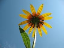 Hybrid rudbeckia (Rudbeckia x hybrida) Royalty Free Stock Photos