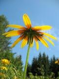Hybrid rudbeckia (Rudbeckia x hybrida) Stock Photos