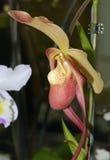 Hybrid Slipper Orchid Stock Image