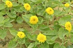 Hybrid- solrosor - helianthus annuus - solros för Sungold nallebjörn Arkivfoton