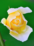 Hybrid Tea Rose. A Hybrid Tea Rose on green background stock photo