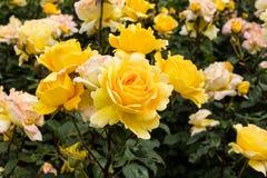 Hybrid Tea Rose Royalty Free Stock Images