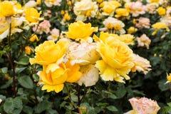 Hybrid Tea Rose Stock Photography