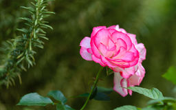 Hybrid Tea Rose 'Bella'roma' Stock Images
