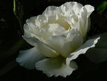 Hybrid Tea Rose `Garden Party` with bud and dark green background. Many ruffly, white petals, for which this rose is famous, facing upward and catching soft stock photo