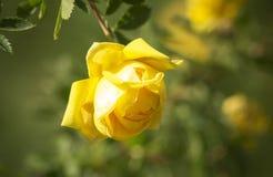 The Hybrid Tea rose, 'Peer Gynt' Stock Image