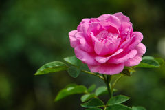 Hybrid tea rose. Pink rose in the garden Stock Photography