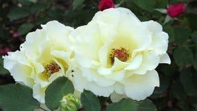 Hybrid Tea Roses stock footage