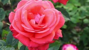 Hybrid Tea Roses stock video footage