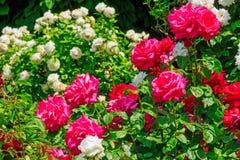 Hybrid Tea Roses In Spring Royalty Free Stock Image