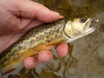 Hybrid Tiger Trout Stock Photography