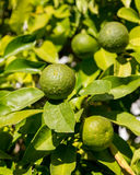 Hybrid tree growing oranges and lemons Royalty Free Stock Photos