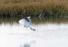 Hybrid Tricoloured Heron x Snowy Egret 05 royalty free stock photography