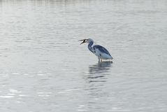 Hybrid Tricoloured Heron x Snowy Egret Catching a Fish 10 Stock Image