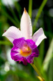 Hybrid Tropical Orchid Royalty Free Stock Images